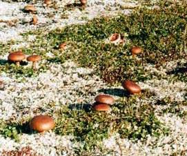 Маринованные грибы горькушки Рецепт моего мужа